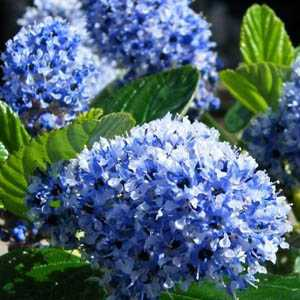 Ceanothus Arboreus Trewithan Blue (Californian Lilac) Trellis Climber 20ltr