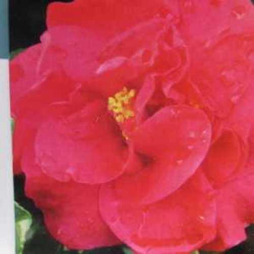 Camellia Japonica Tom Knudsen 60-80cm 3Ltr