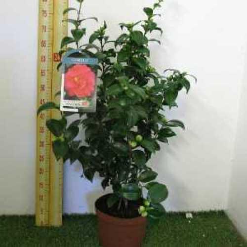 Camellia Japonica Kramer Supreme 60-80cm 3Ltr