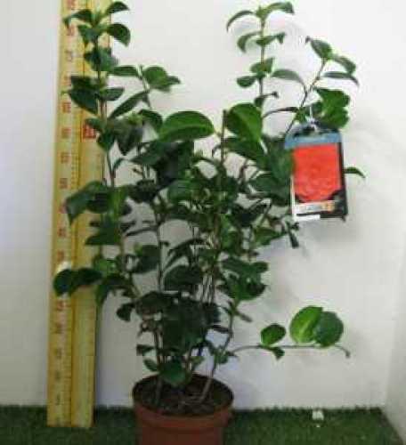 Camellia Japonica Princess Baciocchi 60cm-80cm