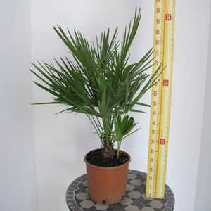 Chamaerops Humilis (Fan Palm) 5-7 Litre Pot