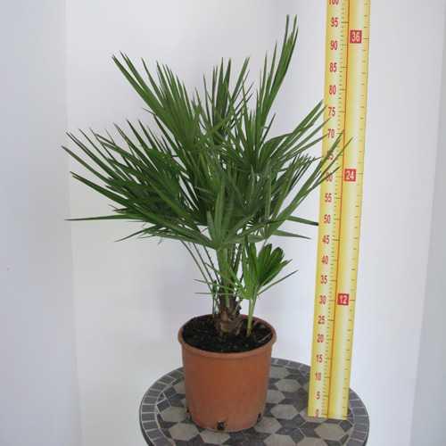 Chamaerops Humilis (Fan Palm) 5-7 Litre Pot