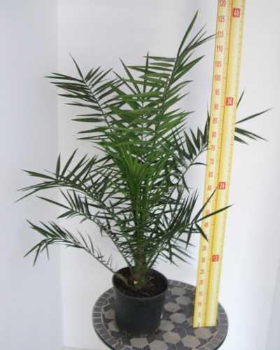 Phoenix Palm 4 Litre Pot