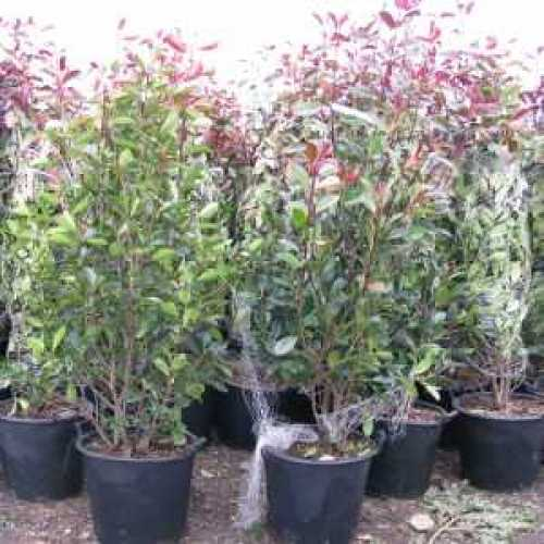 Photinia Fraseri Red Robin Hedging 150-175cm 35ltr Pot