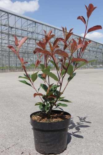 Photinia Fraseri Red Robin Hedging