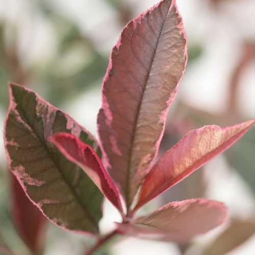 Photinia Fraseri Pink Marble Hedging