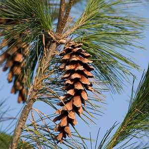 Pinus Strobus 18 Litre Pot
