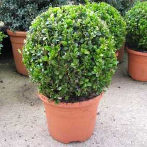 Buxus Sempervirens Topiary Ball Box 3ltr