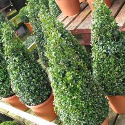 Buxus Sempervirens Pyramid/Cone (Box Hedge/Topiary Plant) 40-45cm 4Ltr Set of 2