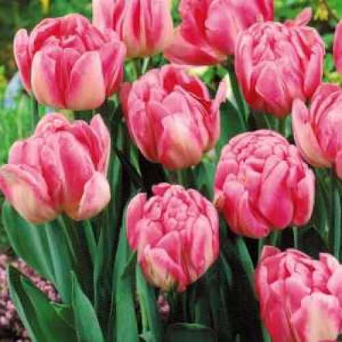 Tulips  Bulbs Double Early Foxtrot 10 Per Pack