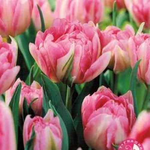 Tulip Bulbs Double Late Finola 10 Per Pack