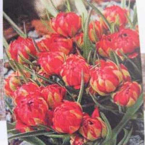 Tulips Bulbs Species Samantha 10 Per Pack