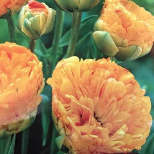 Tulip Double Darwin Hybrid 'Sunlover' Pack of 10