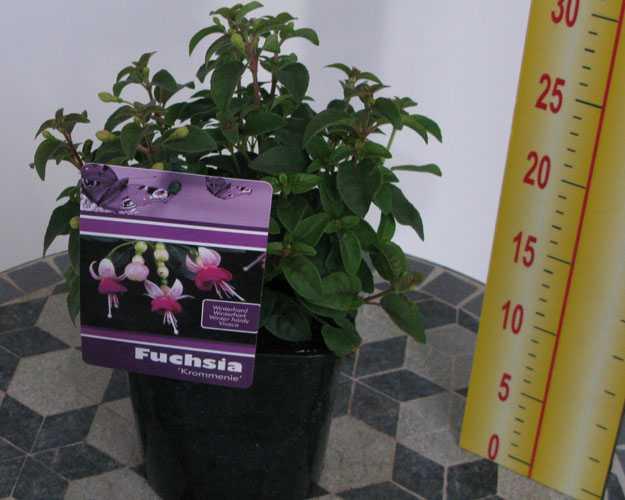 Hardy Fuchsia Krommenie 2Ltr