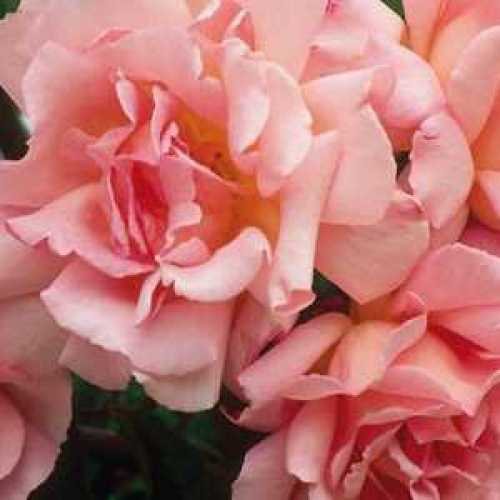 Rose Compassion Large Trellis Climber 20ltr