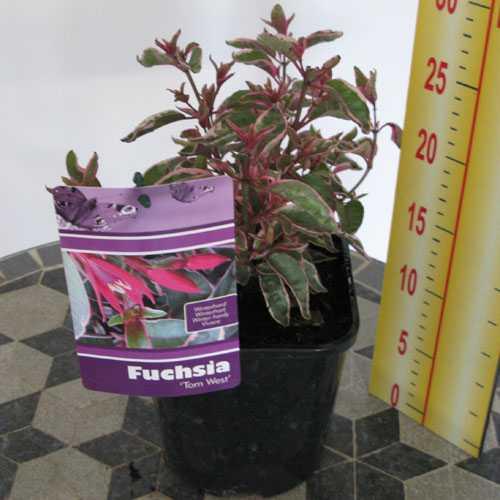 Hardy Fuchsia Tom West 3ltr