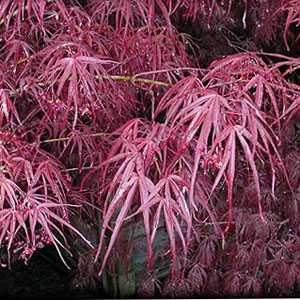 Acer Palmatum 'Atrolineare' (Red Strap leaf Maple)
