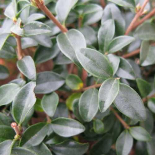 Ligustrum Delavayanum Topiary (Privet) Mini Standard 40cm Clear Stem 9ltr