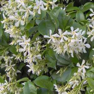 Trachelospermum Jasminoides (Star Jasmine) 150-175 7.5ltr