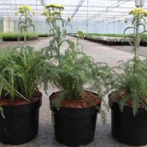 Achillea 'Rainbow Yellow Bouquet'