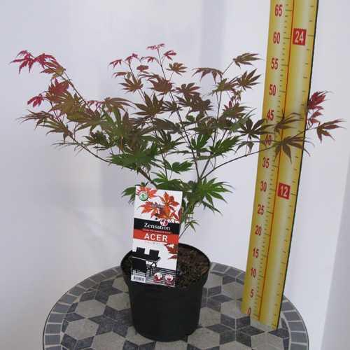 Acer Palmatum Nathan (Japanese Maple) 3 Ltr
