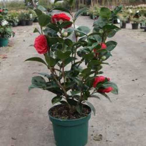 Buy Cheap Camellia Alice Wood Online Cheap Shrubs Sold