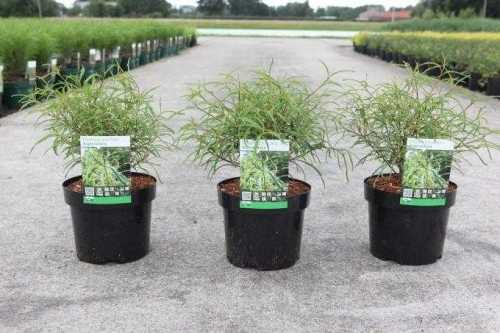 Frangula Alnus 'Aspleniifolia' Alder Buckthorn