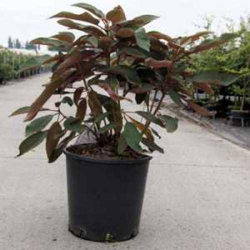 Hydrangea asp. 'Hot Chocolate'