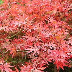 Acer Palmatum 'Shojo Shidare'