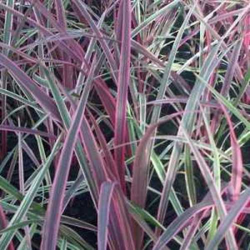 Cordyline Australis Can Can Cabbage Palm