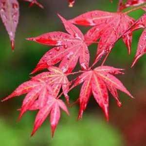 Acer Palmatum Yezo Nishiki (Japanese Maple) 3 Ltr