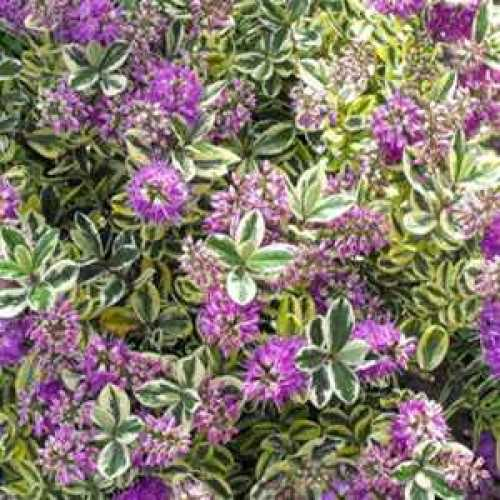 Buy Cheap Hebe Andersonii Online : Cheap Hebe Shrubs Online :