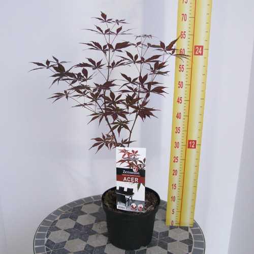 Acer Palmatum Suminagashi (Japanese Maple) 3 Ltr
