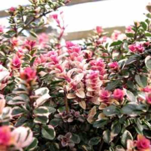 Thyme Thymus Lady 2ltr x 10 Plants