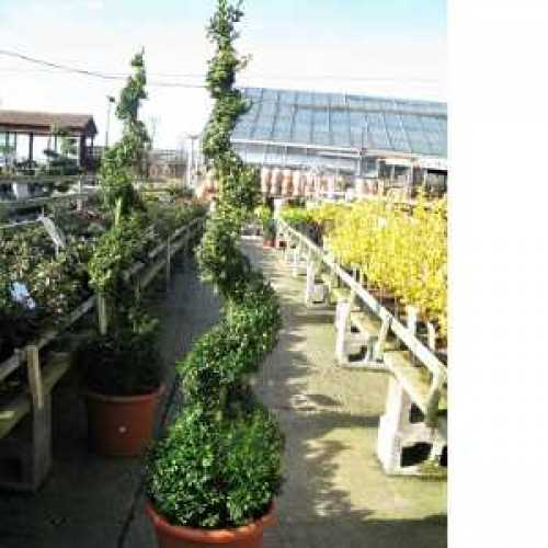 Buxus Sempervirens Spiral (Box Hedge) Plant Height 155-160cm SET OF 2