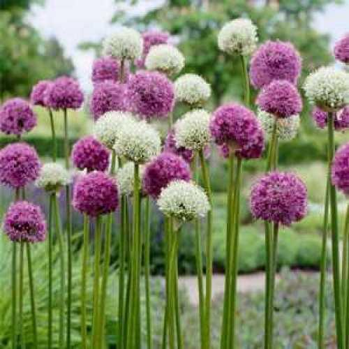 Allium Bulb Gladiator/Mount Everest/Mars x 3 Per Pack