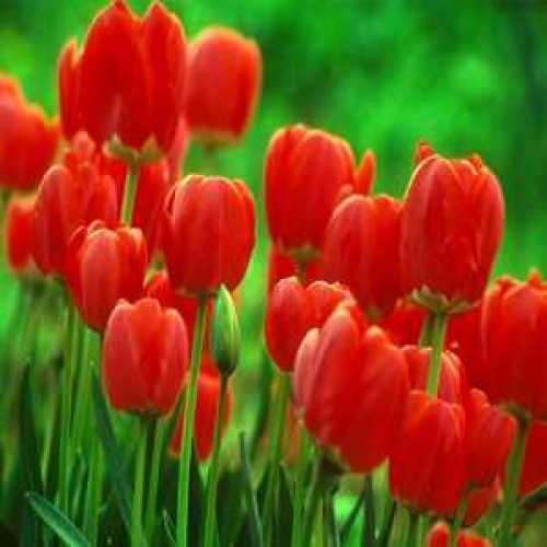 Tulip Bulbs Parade Red 50 Per Sack