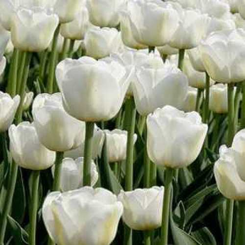 Tulip Bulbs Purissima White 50 Per Sack