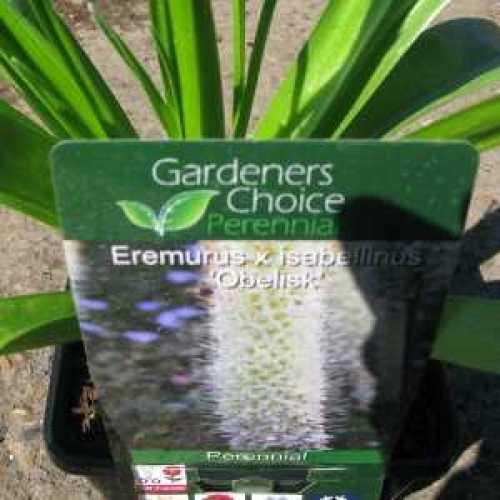 Eremurus x Isabellinus Obelisk Foxtail Lily  3ltr