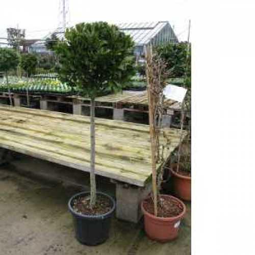 Bay Tree, Laurus Nobilis 1/2 Standard  25Ltr