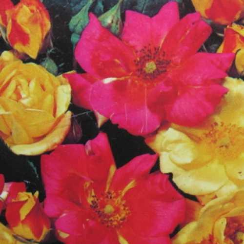 Masquerade Floribunda Rose
