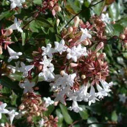 Buy Cheap Abelia Grandiflora Shrubs Sold Online Cheap Abelia