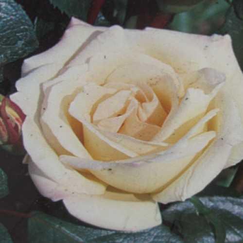 Silver Wedding Hybrid Tea Rose