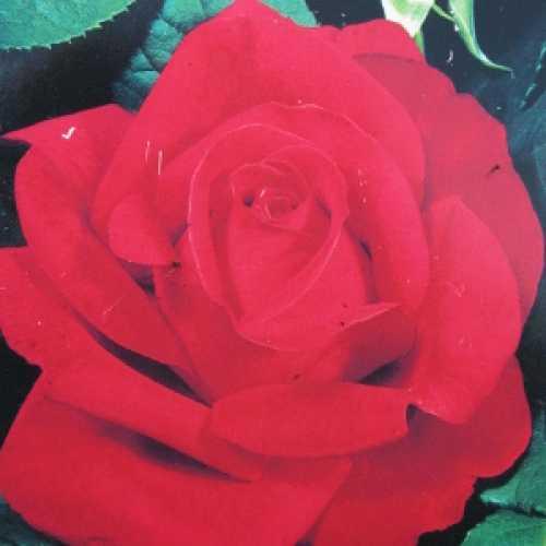 Alec's Red Climbing Rose