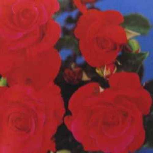 Climbing Rose Dizzy Heights RHS Award of Garden Merit