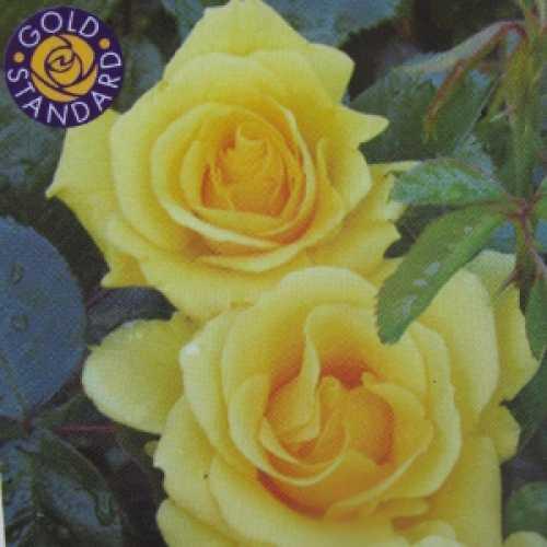 Gardener's Glory Climbing Rose