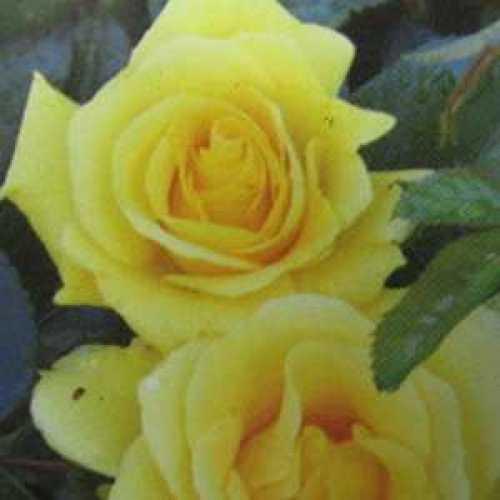 Rose Climbing Gardener's Glory