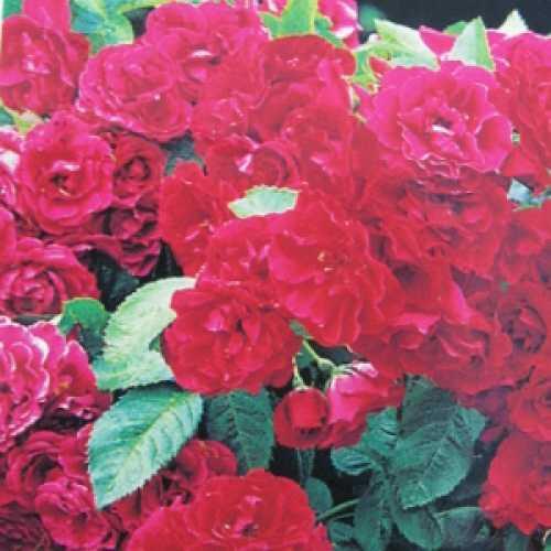 Paul's Scarlet Climbing Rose