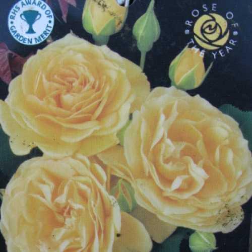 Absolutely Fabulous (Julia Child) Floribunda Rose