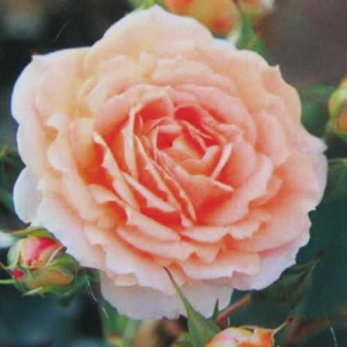 Absent Friends Floribunda Rose